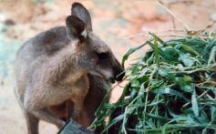 640px-Antilopine_kangaroo