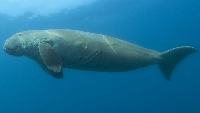 640px-Dugong_dugon_(cropped).jpg